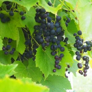 Viinapuud